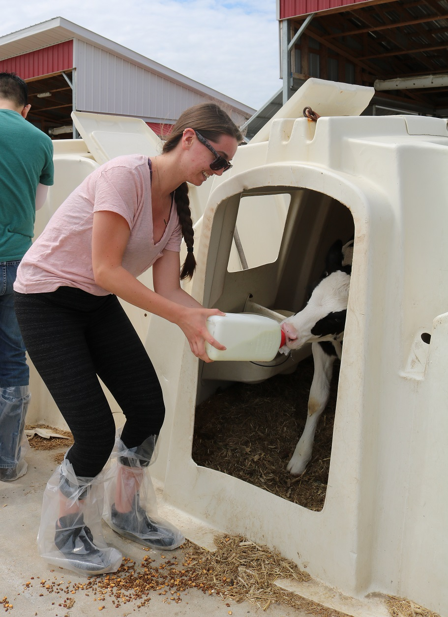 Student giving milk to a cow